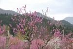 A-Resized 清雲寺の枝垂れ桜.jpg