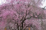 A-Resized 清雲寺の枝垂れ桜 (3).jpg