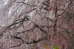 A-Resized 清雲寺の枝垂れ桜 (5).jpg